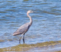 A little blue heron walks near the shore.